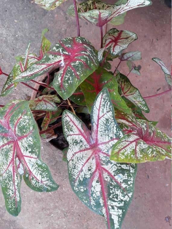 Dollhouse Miniature Flower Set 5 Caladium Becolor Plant Handcraft Decor Garden