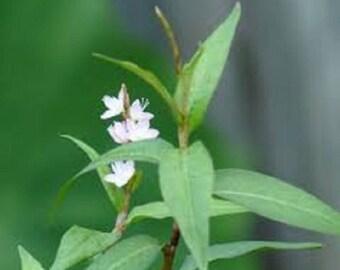 3 rhizome Persicaria odorata, Polygonaceae, pakpal