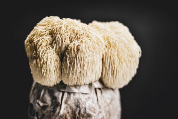 Lions Mane mushroom grow Kit-Facile à Utiliser-Prêt à fruits-Inhabituel Idée Cadeau