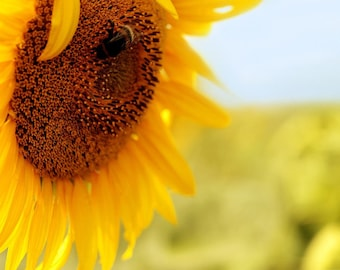 Sunflower Field with Bee, Summer Photograph Print, art
