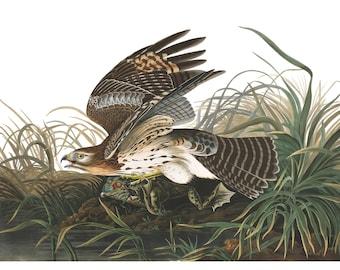 Audubon's Plate 71 Winter Hawk Cross Stitch Pattern