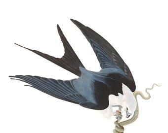Audubon's Plate 72 Swallow Tailed Hawk Cross Stitch Pattern