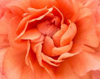 Center of an Orange Ranunculus Macro Flower Photograph Matted to 12 X 12