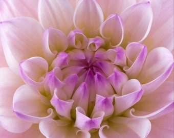 Purple & White Amanda Dahlia Flower Photograph Matted to 11 X 14