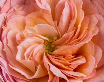 Peach Blush Parasol Spray  Photograph Matted to 11 X 14