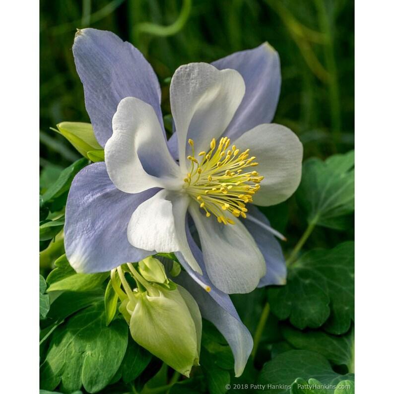 Bluebird Columbine Flower Blossom Photograph Matted To 11 X 14 Etsy
