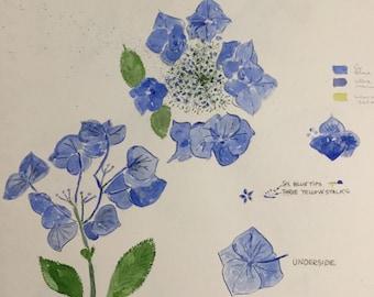 Hydrangea vivid blue (rare)