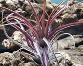 Extensa Air Plants - Tillandsia, Air Plant, Indoor Plant, House Plant, Terrarium Plant, Easy Care Plant, Bromeliad, Succulents