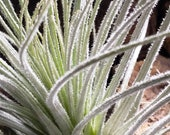 Tectorum Bush Form Air Plants - Tillandsia, Air Plant, Indoor Plant, House Plant, Terrarium Plant, Easy Care Plant, Bromeliad, Succulents