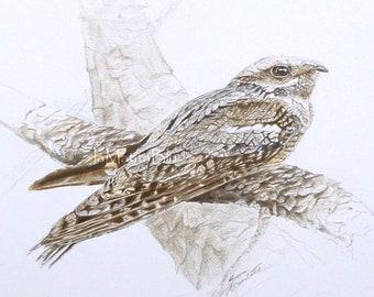 Original drawing of bird, European nightjar camouflaging. Hand drawn art, colored pencils on paper 23 x 25 cm - 9 x 10 in