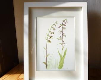 Wild Orchids: original botanical illustration of Small-leaved Helleborine and marsh helleborine. 17,7x28,2 cm (7x11 inches)