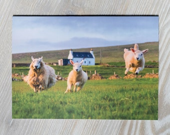 Sheep Card Funny | Blank Greeting Card | Humorous Sheep Photo | Jumping Sheep Lamb | All Occasions | Unst Shetland Scotland | Cute Animals