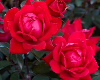 Red Double Knock Out® Rose Bush 3 Gallon