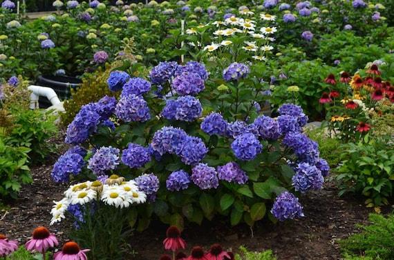 Bloomstruck Endless Summer Hydrangea 3 Gallon Etsy