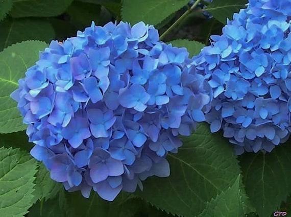 Nikko Blue Hydrangea 3 Gallon Plant | Etsy