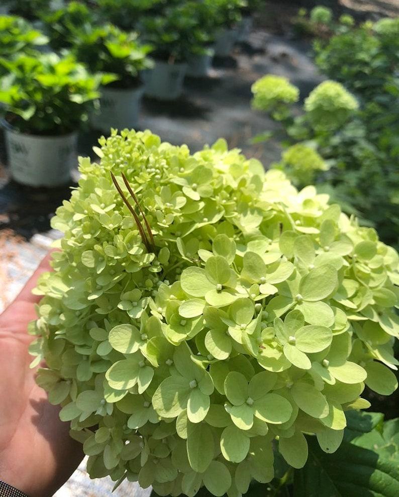 Limelight Hydrangea 3 Gallon Plant