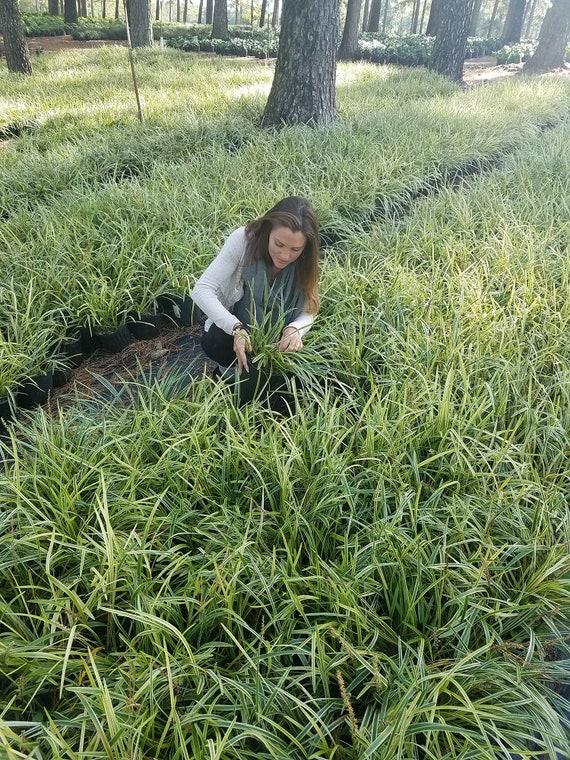 Variegated Liriope Variegated Lilyturf 1 Gallon Plant Etsy
