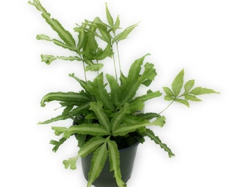Silver Ribbon Fern aka Pteris cretica /'Albo-Lineata/' Live Plant Fit 4 Pot