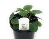 FlowerPotNursery Chinese Money Plant UFO Plant Pilea peperomioides 4 quot Pot