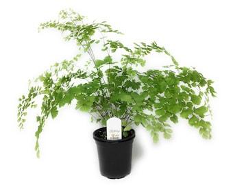 "Fragrant Maidenhair Fern - Adiantum raddianum 'Fragrantissima' - 4"" Pot"