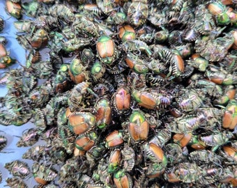 Dried Japanese Beetles Specimen Green Brown Iridescent Bulk Purchase Dry UNTREATED Specimens