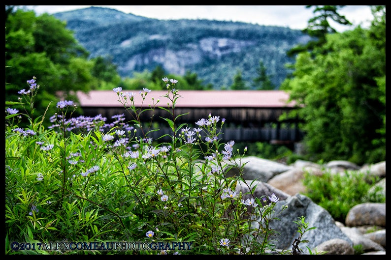 Purple Aster on the Pemi  Mountains Art New Hampshire image 0