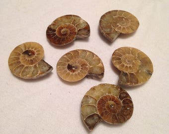 Ammonite Shells/fossil