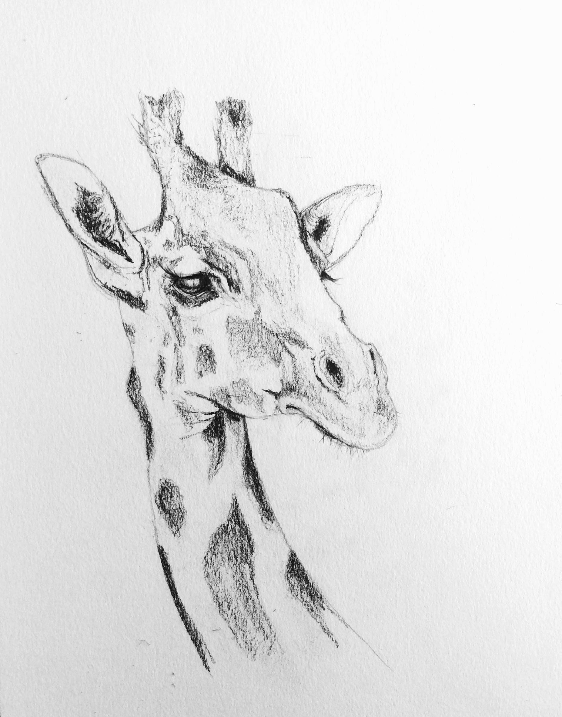Pencil and charcoal sketch of giraffe