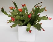 This is a natural touch very realistic Christmas cactus plant in a white square ceramic container.
