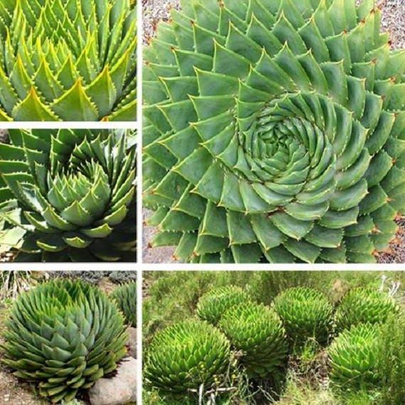 WBML 100 PCS Aloe Polyphylla SeedSpiral Aloe SeedS Spiraling