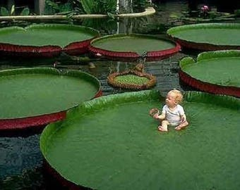 10+++ Rare Giant Lotus Aquatic Plant, Victoria Amazonica Giant Waterlily Seed, Bua-Ga-Dong