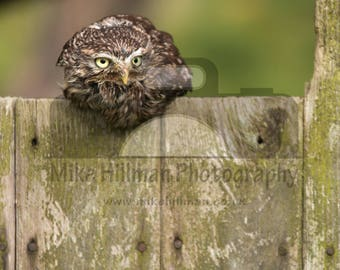 "Mounted Photographic Display Print - Little Owl #1 (A4 print in 14"" x 11"" Mount, Unframed)"