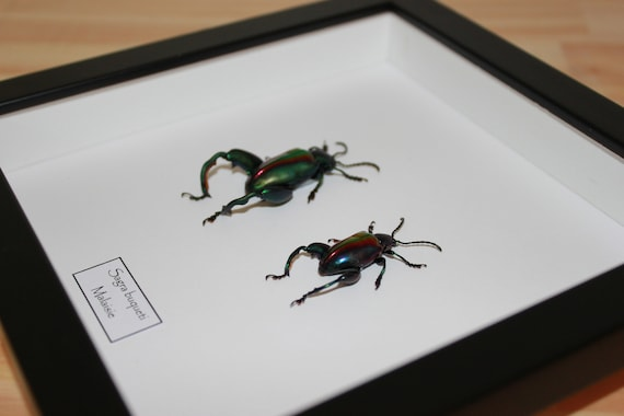 poster curiosity cabinet framed insects naturalized insects Dynastes granti poster