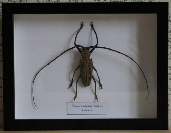 Batocera wallacei Proserpina