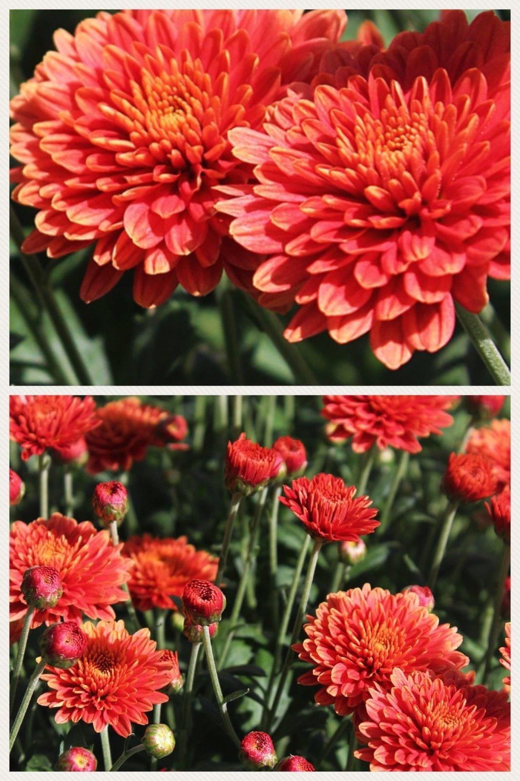 Red Cushion Mum Chrysanthemum Seeds 400 Seeds 12 Ounce 1 Etsy