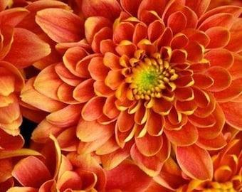 Orange Yellow Mum Chrysanthemum Seeds 400+ Seeds (1/2ounce) + 1 Plant Marker, Mum Flower, Flower Seeds, Annual Seeds, Bulk Seeds, Wholesale
