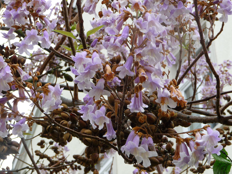 50 EMPRESS TREE SEEDS Fast Grow Fragrant Purple Flower Paulownia tomentosa