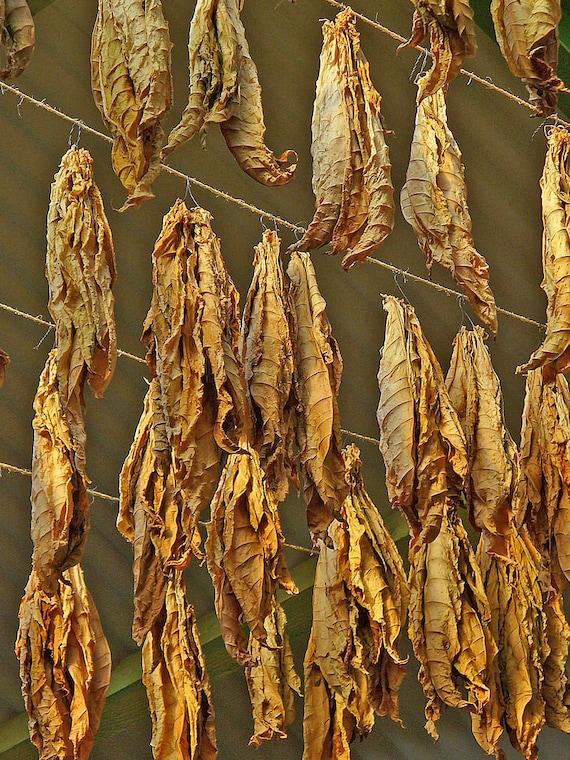 1000 Perique Tobacco Seeds ~ Heirloom Nicotiana Tabacum ~ Distinctive Flavor!