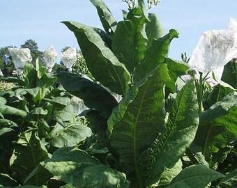 1000 Virginia Gold Tobacco Seeds ~ Heirloom Nicotiana Tabacum ~ Fast grow