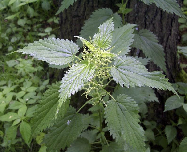 3000 Stinging Nettle Seeds  Urtica Dioica Seeds  Medicinal image 0