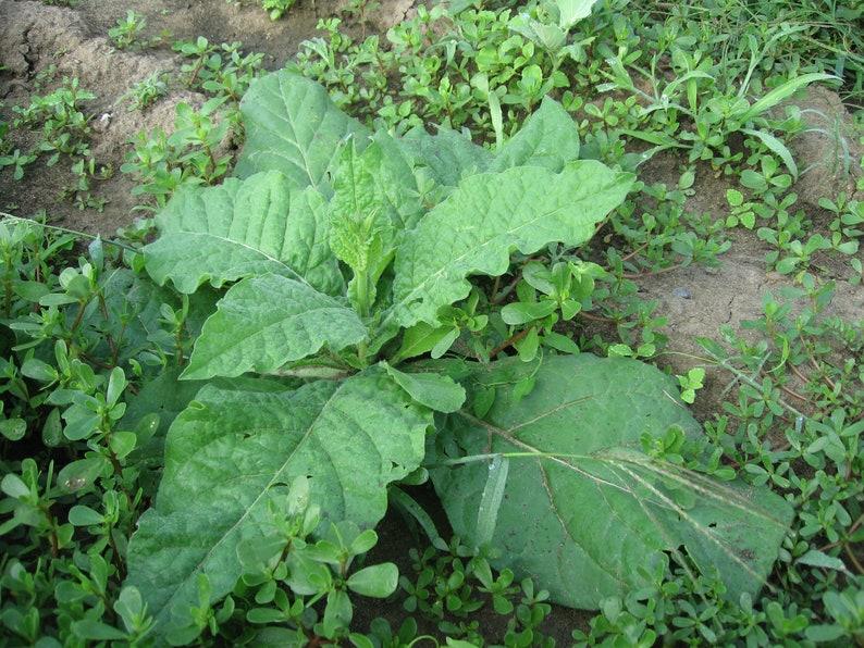 Jasmine Flowering Nicotiana 1000 Nicotiana Alata Seeds