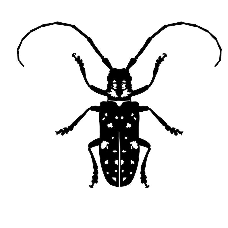 Asian longhorn beetle pic you