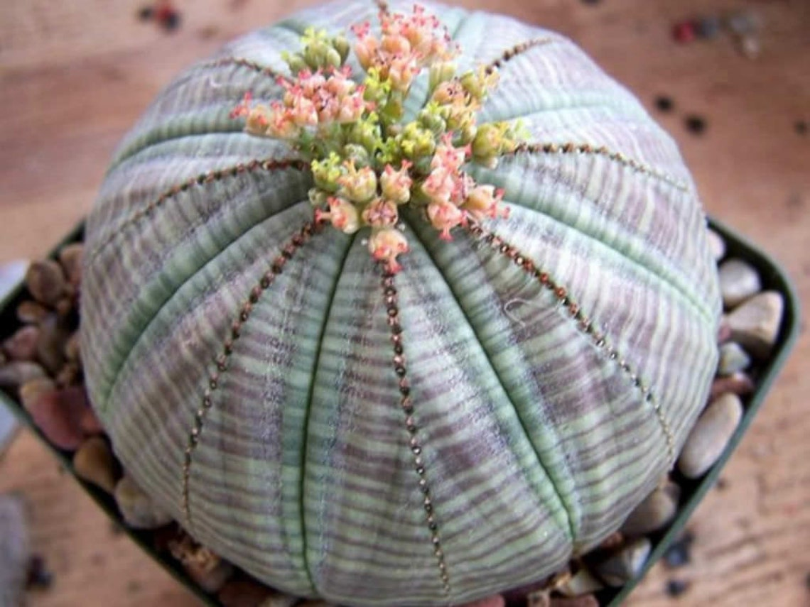 Euphorbia obesa succulent plant from 2-3 photos on sale image 0