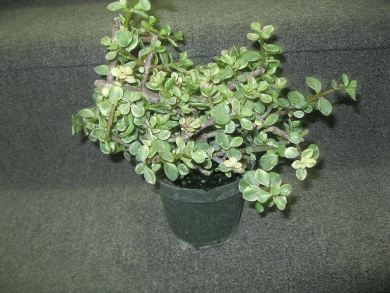 Portulacaria afra /'Elephant Bush/' Variegated dwarf Jade 4.5 pot