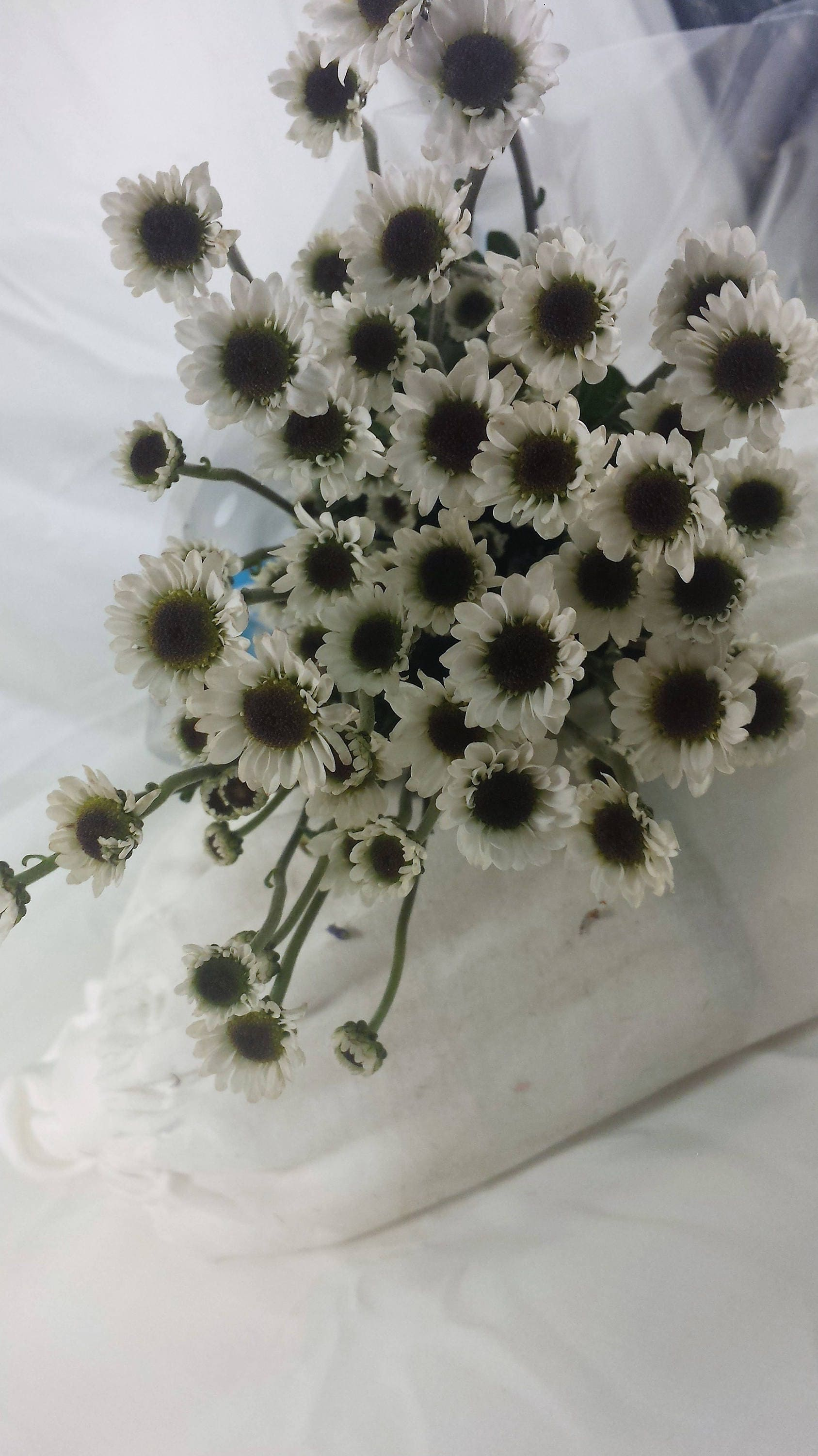 Fresh Bouquet White Daisy Black Center 7 Stem Bunch Etsy