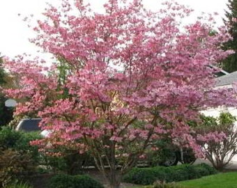 Pink dogwood tree etsy organic pink flowering dogwood seeds a lovely medium flowering tree short trunk crown of spreading branches mightylinksfo