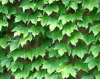Organic Boston Ivy Seeds - Strong-Growing, Self-Clinging Vine
