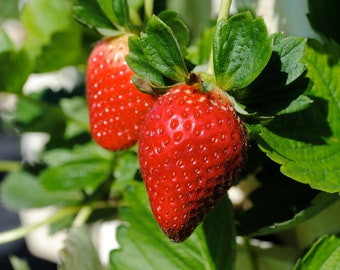 Organic Earliglow Strawberry Seeds, Smaller decadently sweet, early strawberry. Great for containers -  25 Seeds