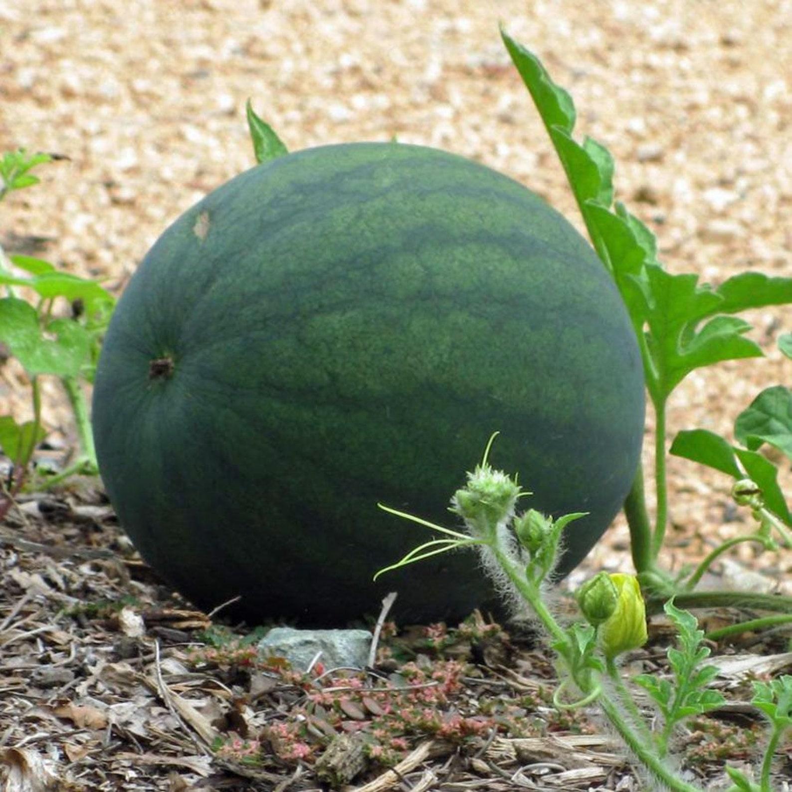 chubby-gray-watermelon-seeds