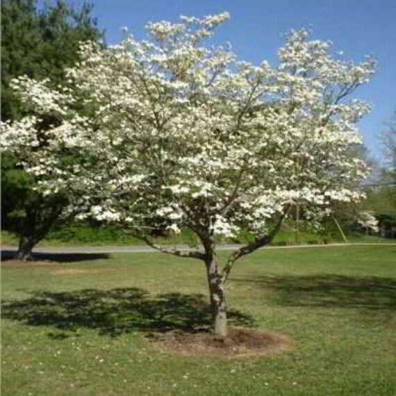 20 White Flowering Dogwood Seeds A Lovely Medium Flowering Etsy